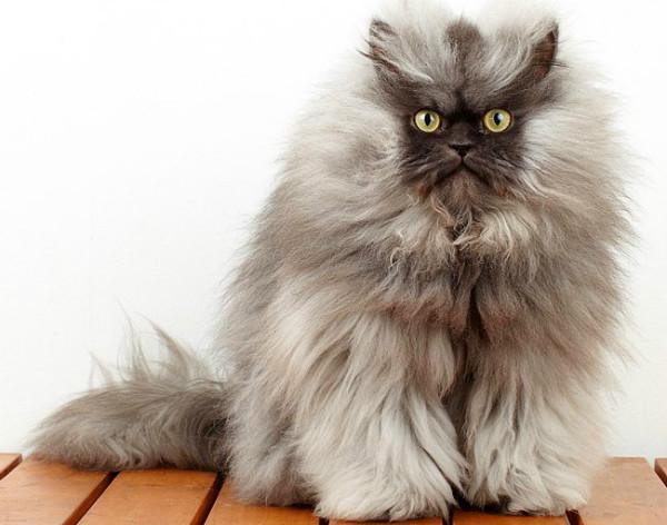 Кот порода пепельный