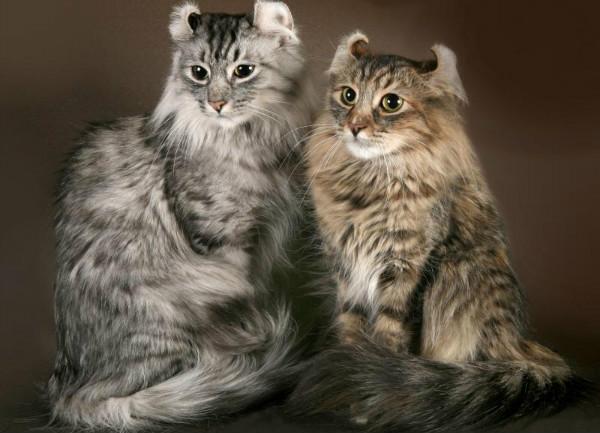 Породы котов пушистых с фото