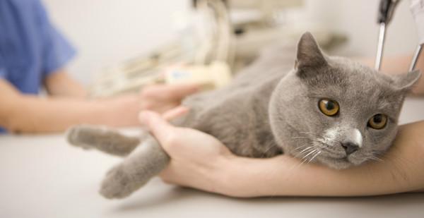 Рвота желчью кот лечение