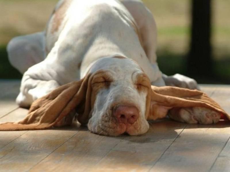 У собаки пахнет из ушей