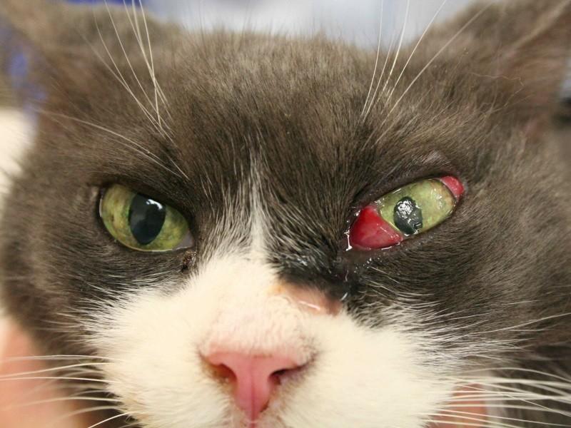 Повреждение глаза у кота