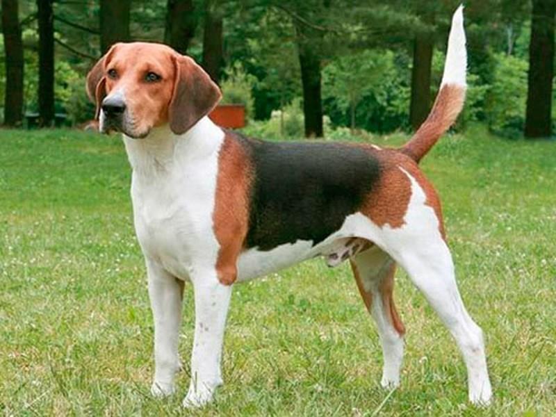 Гончие породы: описание и характеристики известных и признанных собак ( фото) 100