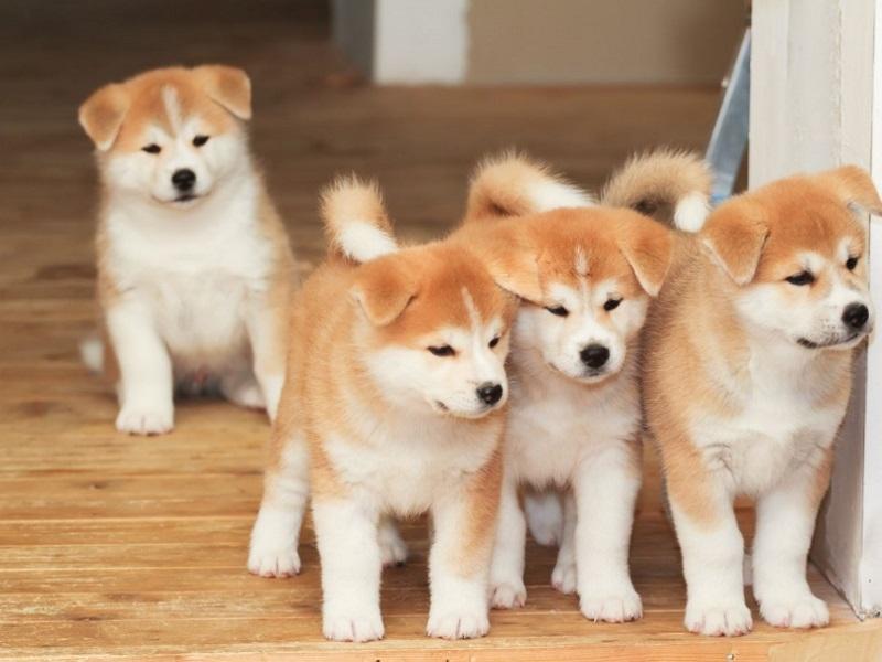 фото японская собака акита ину