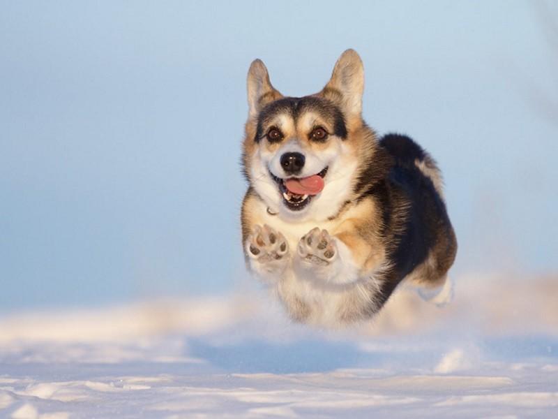 Собака с большими ушами и короткими лапами