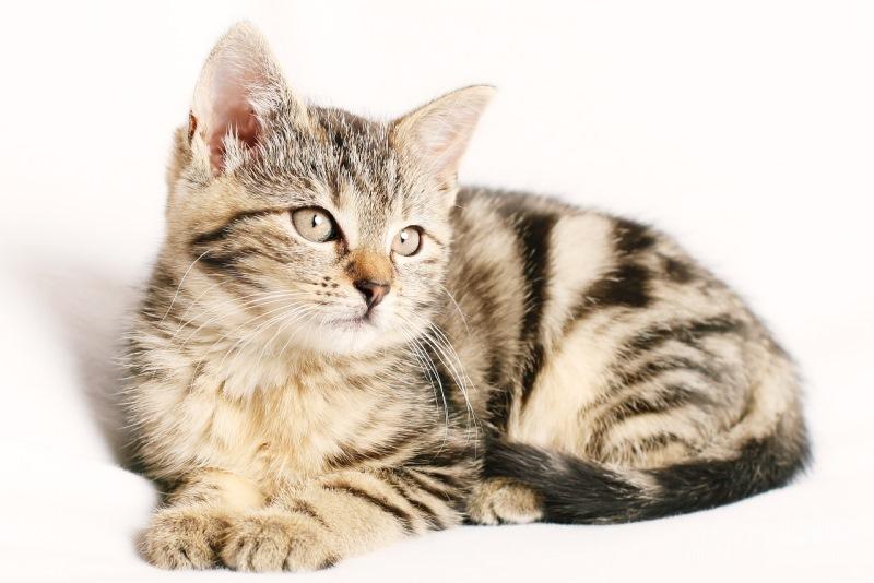 Если у кота вирусная инфекция гастрит