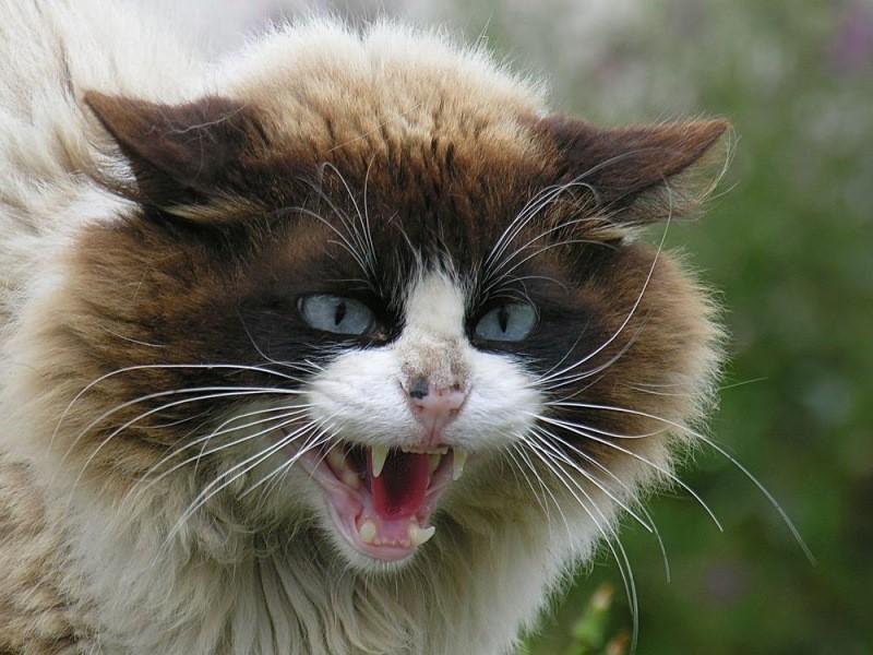 Кот шипит на одного человека