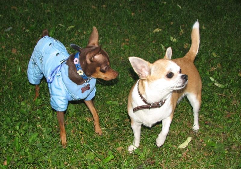 Той-терьер: купить щенка той-терьера, продажа собак.