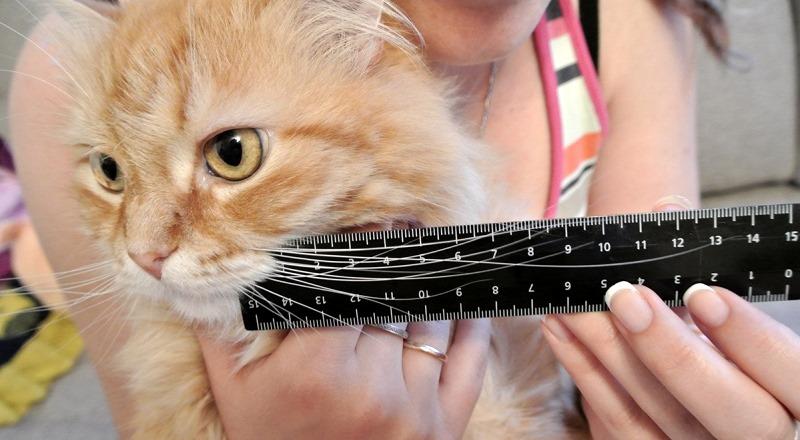 Как растут у кота усы
