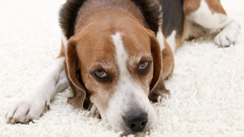 Вывих тазобедренного сустава у собаки лечение