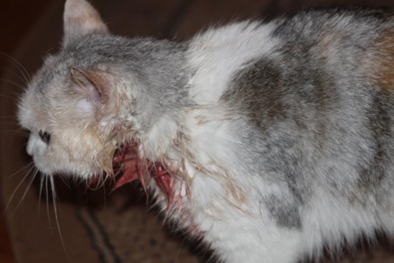 Как вылечить рану у кота в домашних условиях