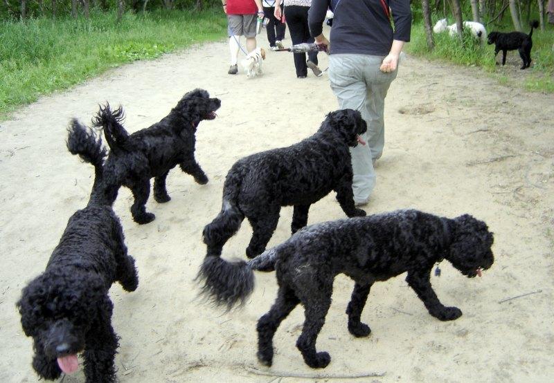 Португальская водяная собака: стандарт породы, особенности ухода и содержания ( фото)