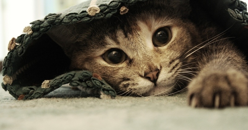 Кот лезет к беременной кошкой