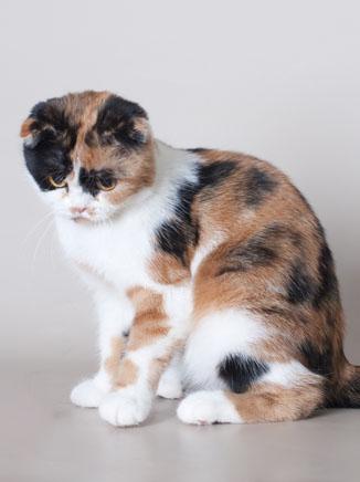 шотландская вислоухая кошка трехцветная фото
