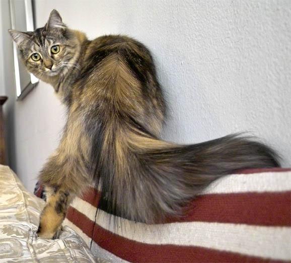 Коты хвост позвоночника