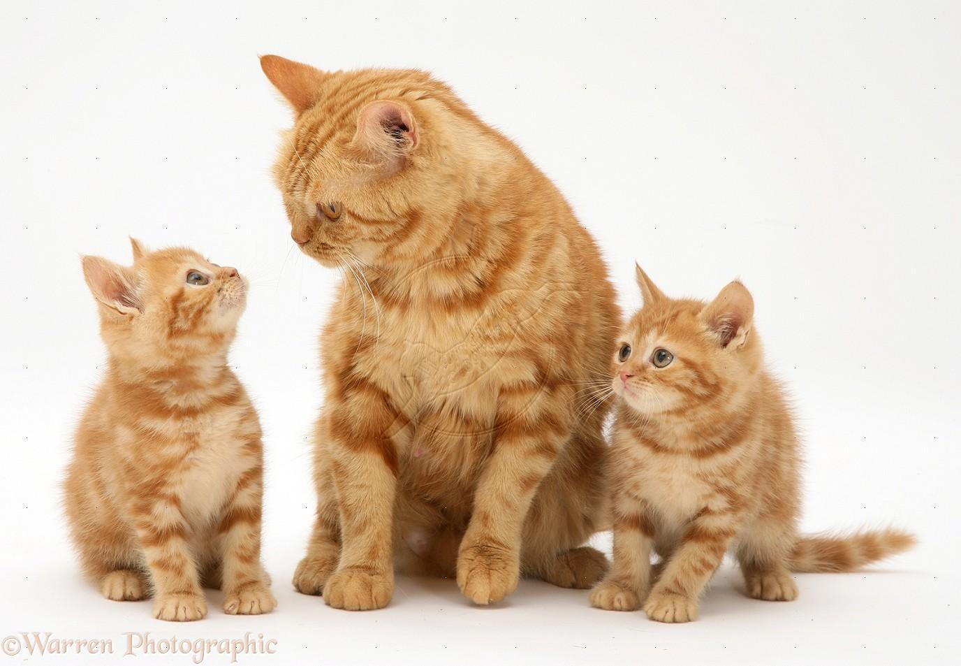 Котенок или взрослая кошка