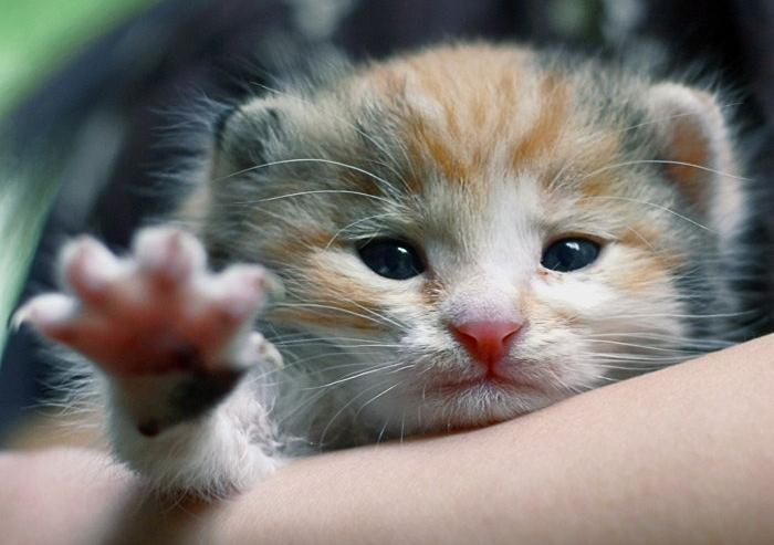 Как умирают от чумки коты