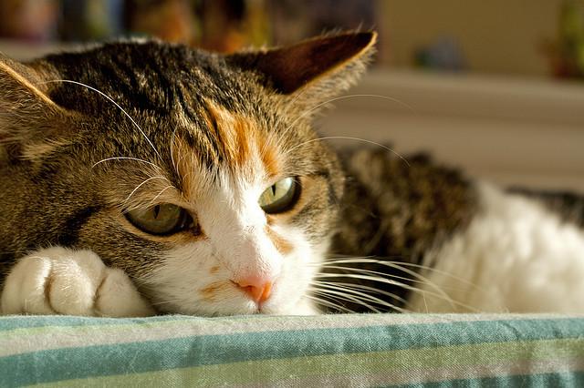 Гепатит у кошек: симптомы и лечение