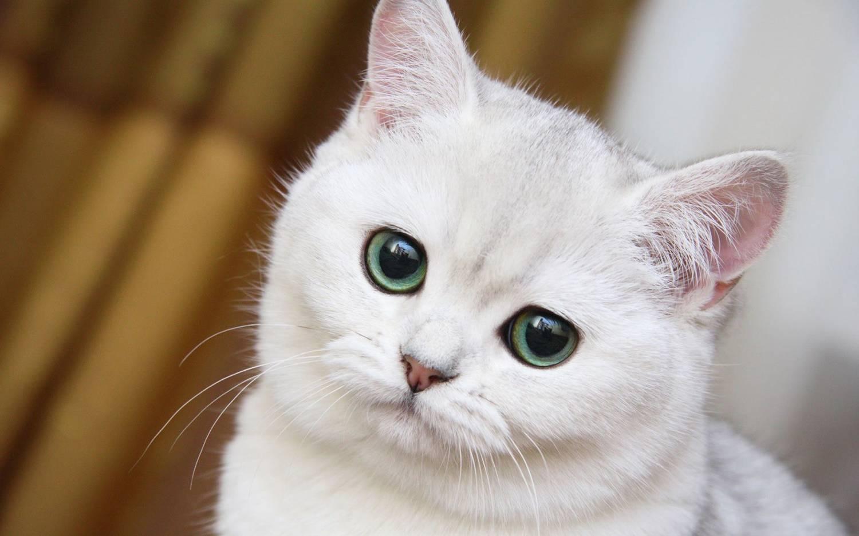 Породы котов с фото белый