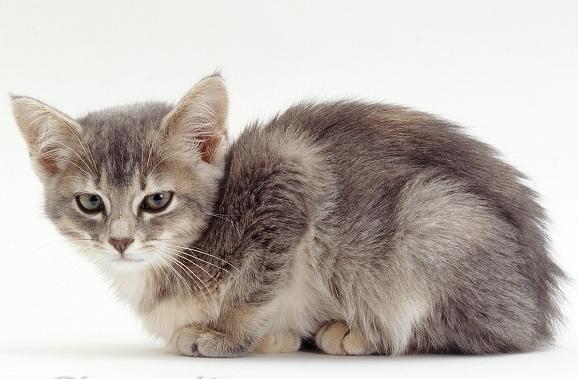 Энтерит у кошек: симптомы и лечение