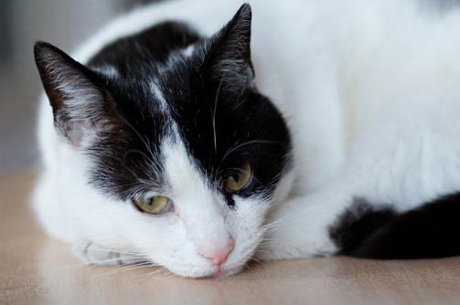 Кот приступы удушья