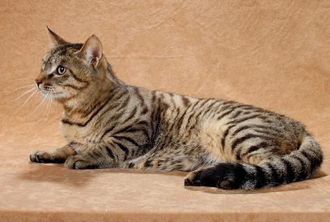 Китайская кошка Ли Хуа: крадущийся тигр, затаившийся дракон