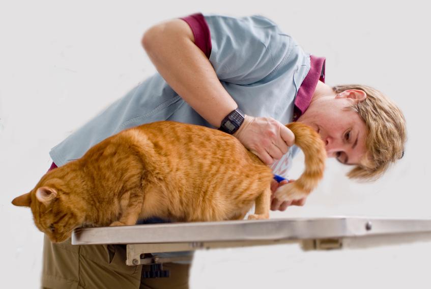 Цистит у кошек: симптомы и лечение