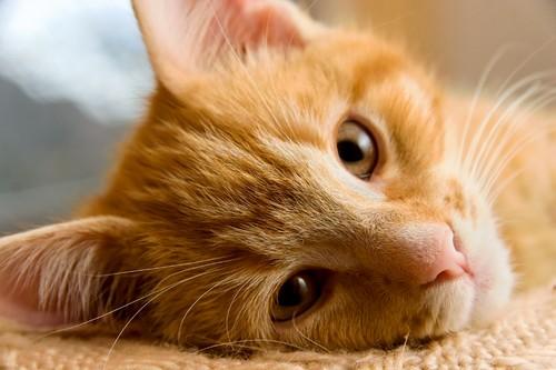 Астма у кошек: симптомы и лечение