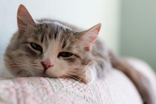 Гастрит у кошек: симптомы,