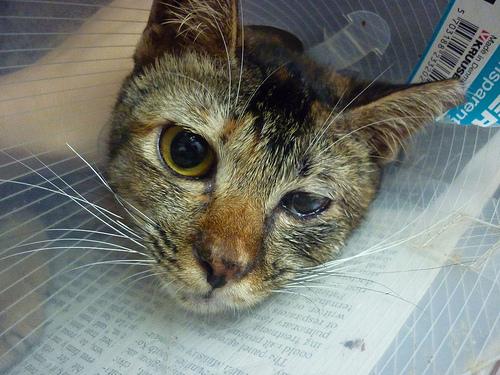 Лечение катаракты у кота