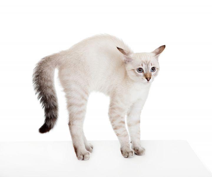 Толстый хвост кота