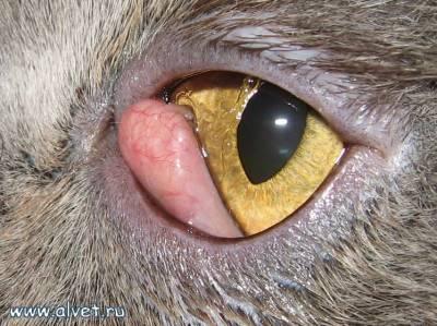 Третье веко у кошек лечение