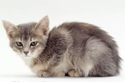 Энтерит у кошек симптомы и лечение