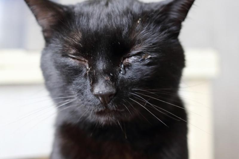Закисают глаза у кота причины
