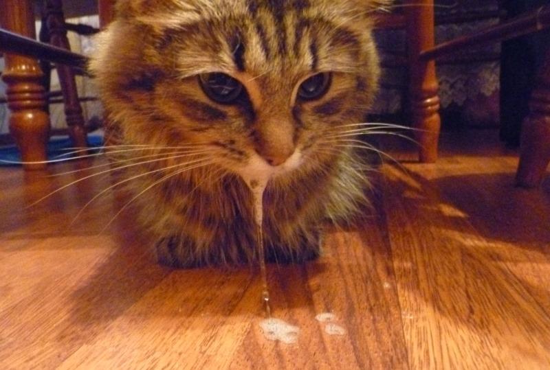 У кота изо рта слизь