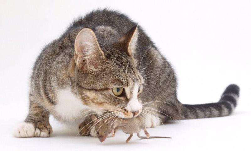 Изменение в поведении кота после кастрации