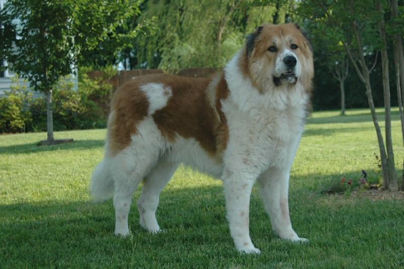 Кавказская овчарка: собака для профессионалов