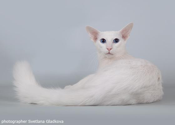 Яванез – длинношерстная ориентальная кошка
