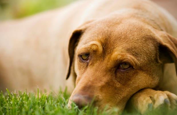 Пироплазмоз у собак: симптомы, лечение и профилактика