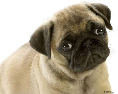 Стерилизация собак когда лучше делать