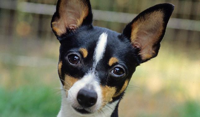 Гипоаллергенные собаки: вымысел или надежда?