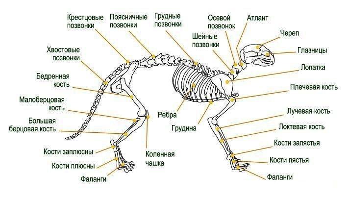 Скелет кошки: особенности строения