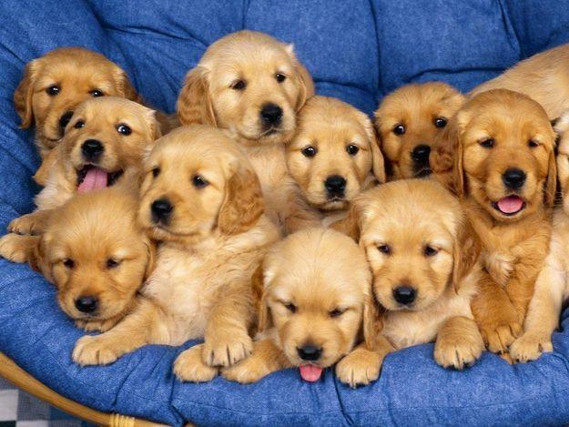 Советы по выбору щенка для домашнего содержания