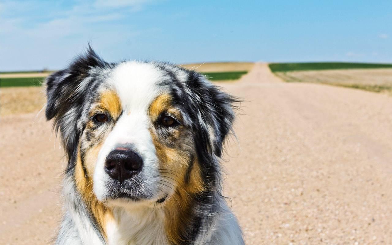 адвантикс инструкция для щенка
