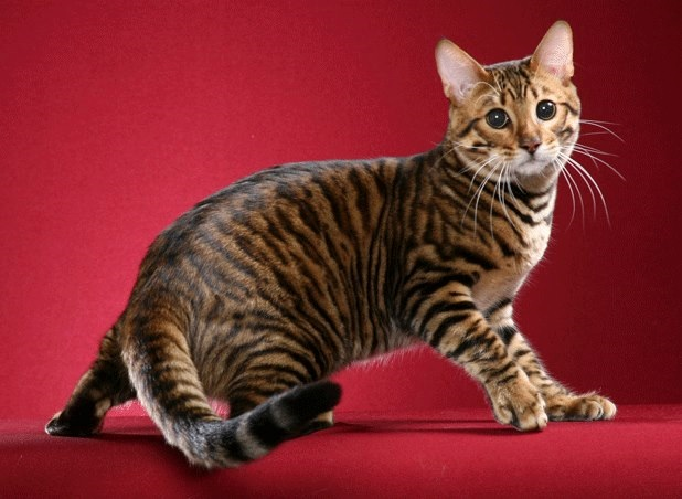 Породы котов тигровые