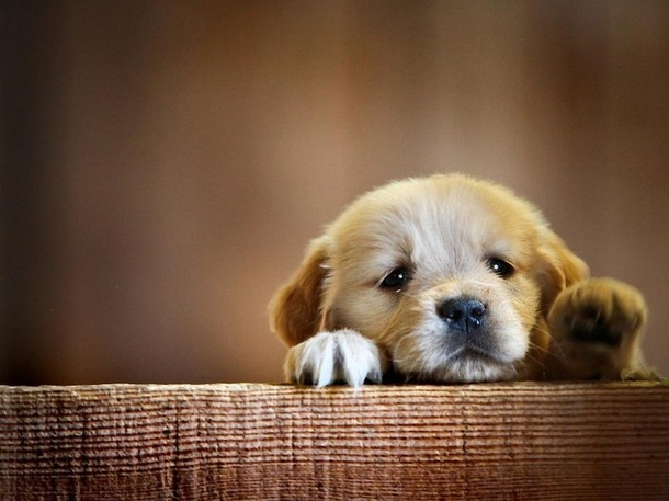 Этапы развития щенков с рождения и до 3-х месяцев