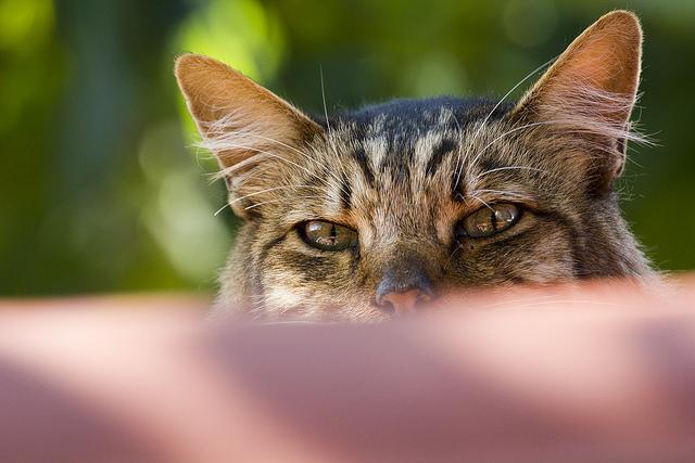 Отит у кошек: причины и симптомы