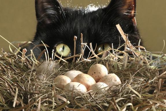 Можно ли коту вареные яйца