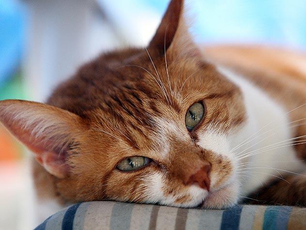 Сколько дней колоть коту антибиотик