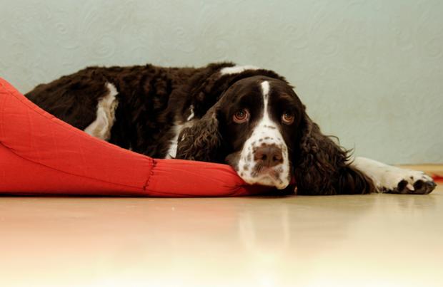 Токсоплазмоз у собак: симптомы и лечение болезни