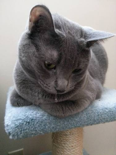 Текут слюни у кота причины